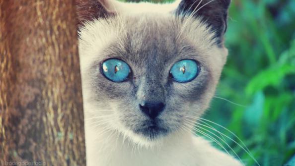 обои на рабочий стол белая кошка с голубыми глазами № 186095 бесплатно