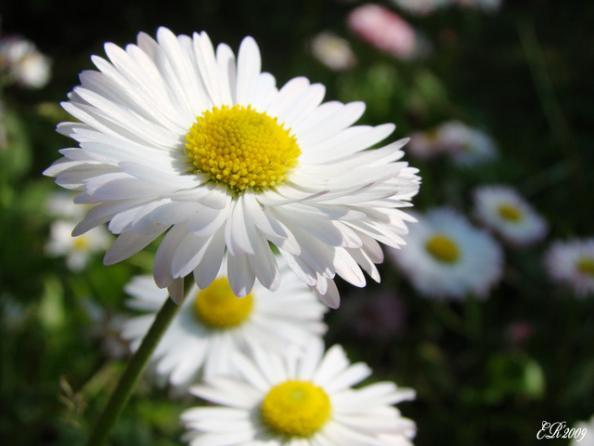 Цветок маргаритка фото написал admin