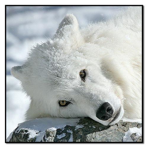 Волчица с детенышами в вашей жизни