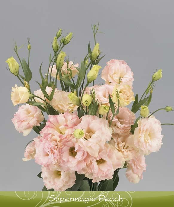Роза горная цветок фото
